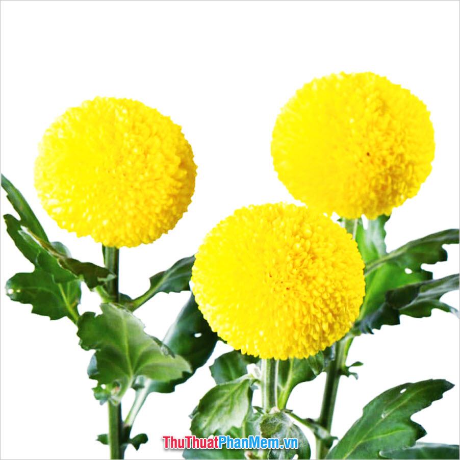 Những bông cúc Ping Pong tặng mẹ nhân ngày mùng 8 tháng 3
