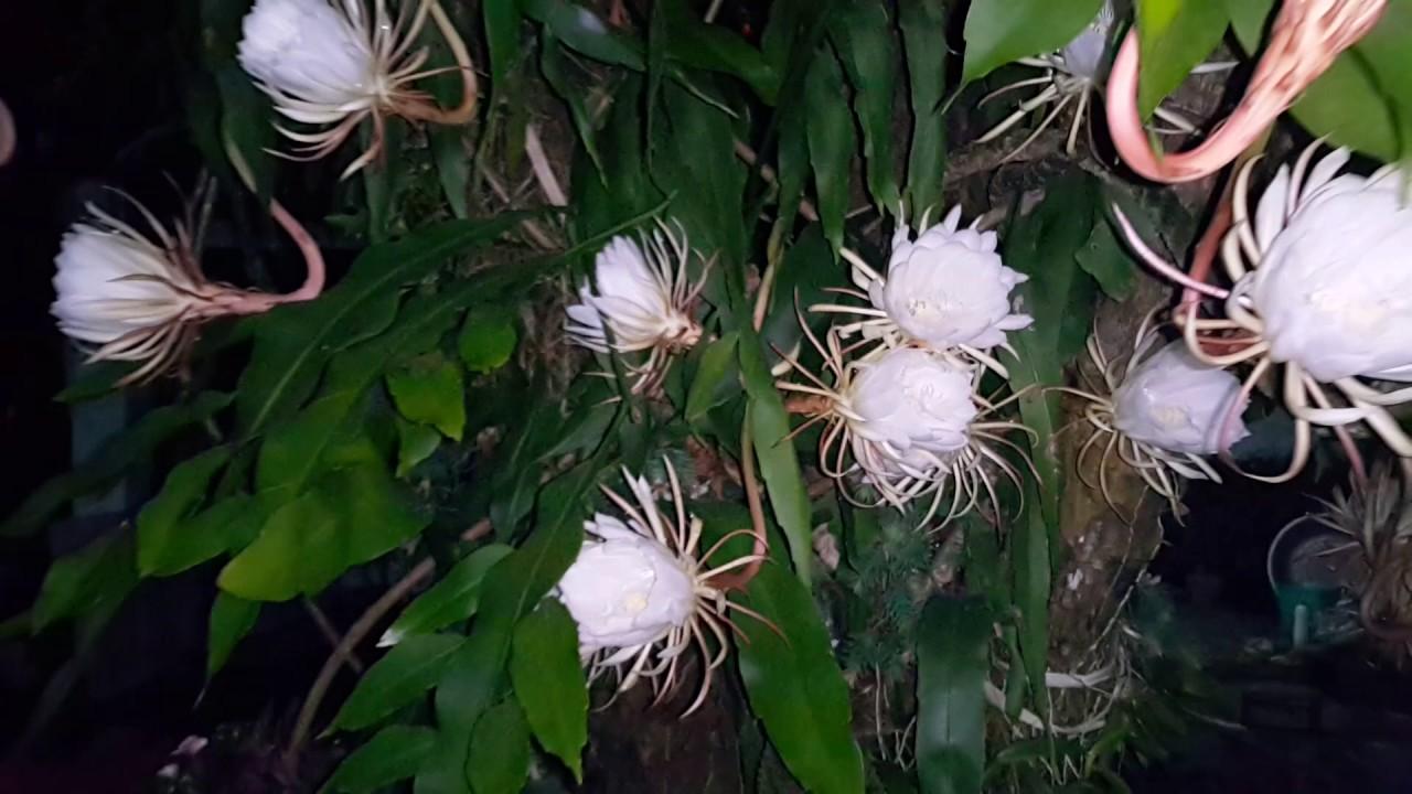 Những bông hoa Quỳnh nở rộ đẹp