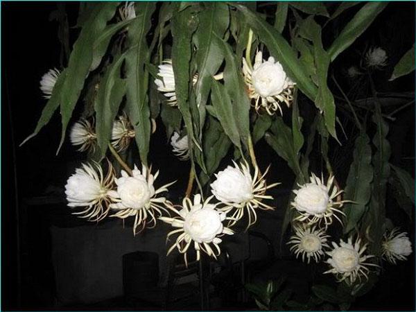 Những bông hoa Quỳnh nở rộ trong đêm