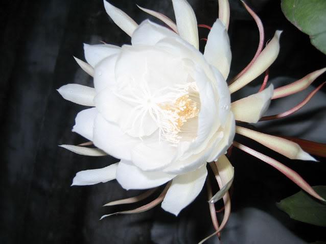 Những hình ảnh đẹp về hoa Quỳnh