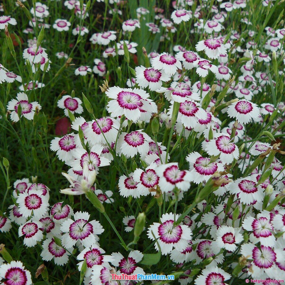 Những khóm hoa cẩm chướng vằn tặng vợ và người yêu vào ngày mùng 8 tháng 3