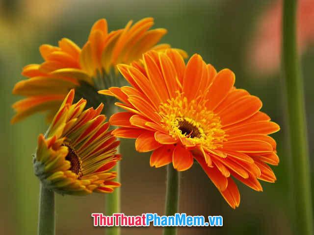 Tặng mẹ một bông hoa đồng tiền