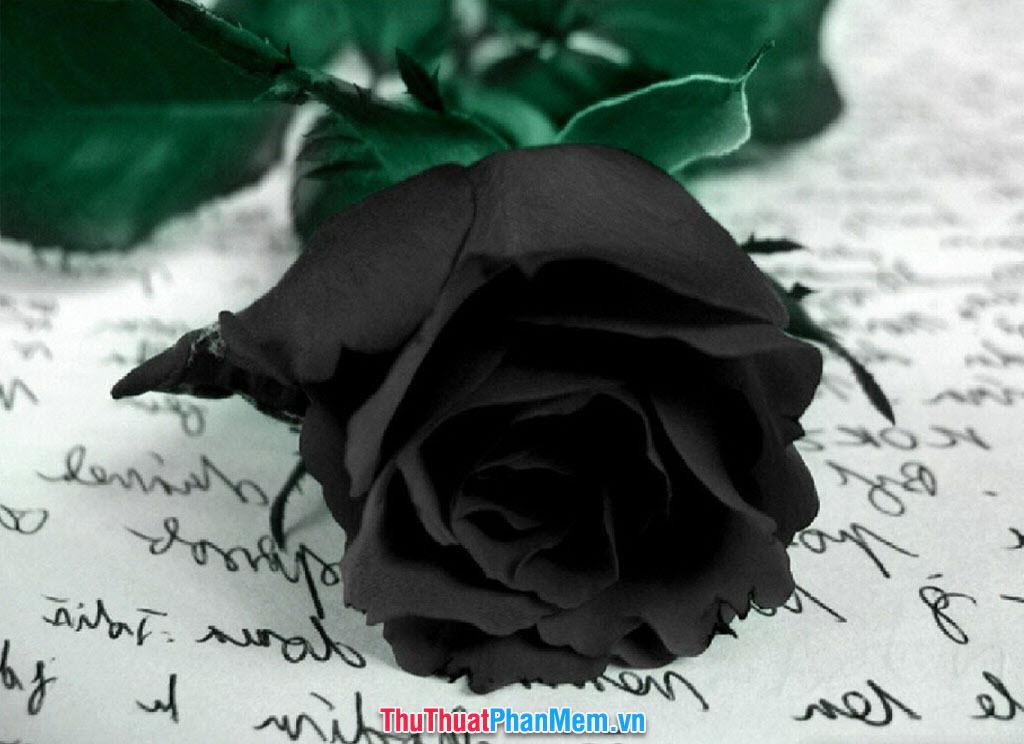 Tặng nàng một đóa hoa hồng đen huyền bí nhân ngày mùng tám tháng ba
