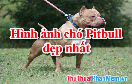 Hình ảnh chó Pitbull - Tổng hợp hình ảnh chó Pitbull đẹp nhất