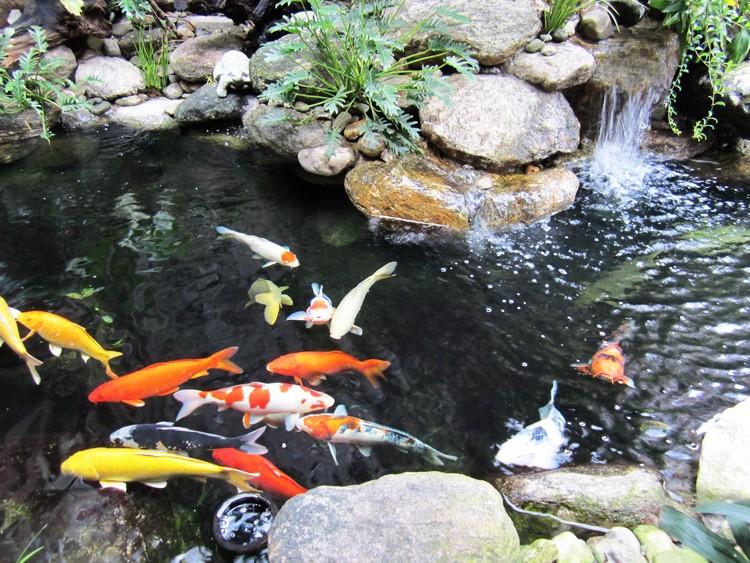 Ảnh cá chép Koi Nhật Bản đẹp
