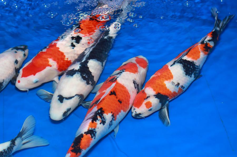 Ảnh cá Koi Nhật đẹp nhất