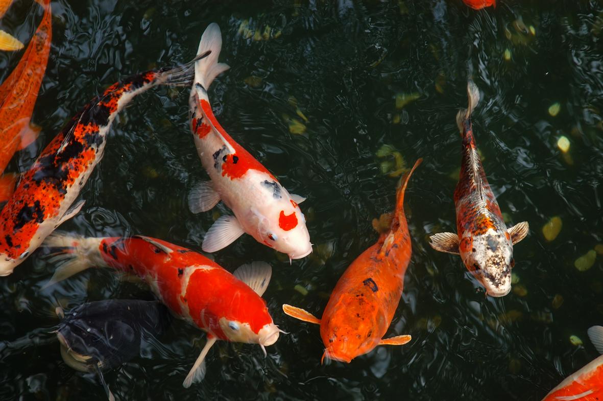 Ảnh cá Koi trong hồ đẹp