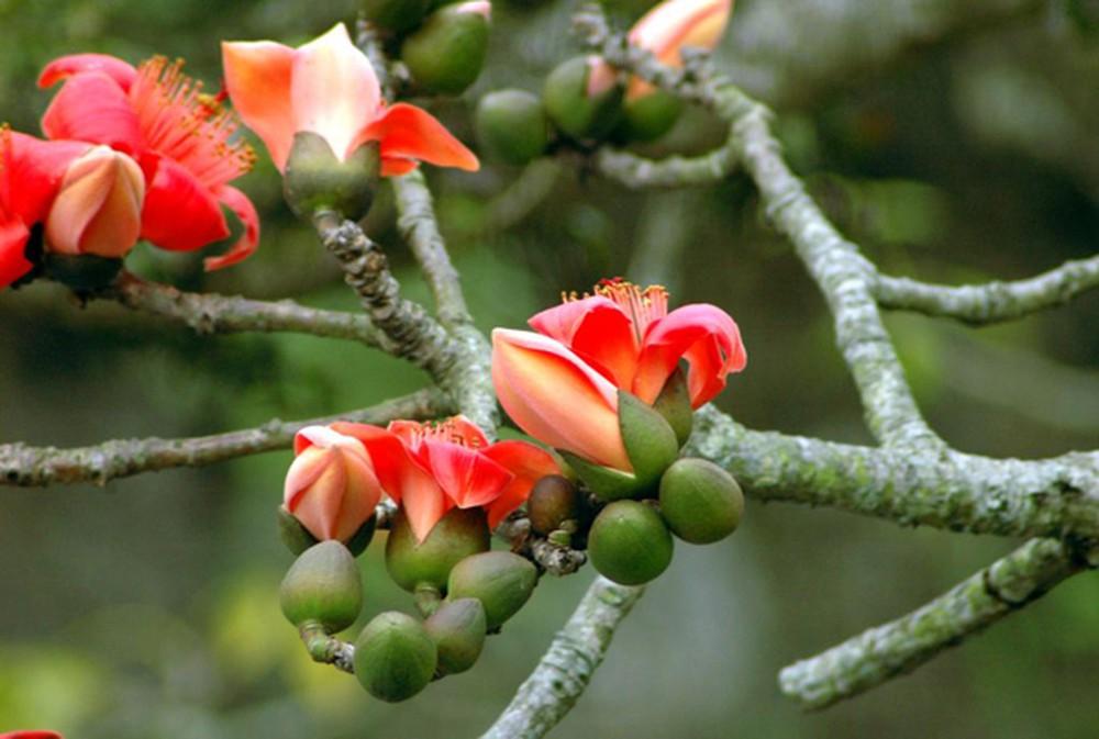 Ảnh cây hoa Gạo tháng 3 đẹp