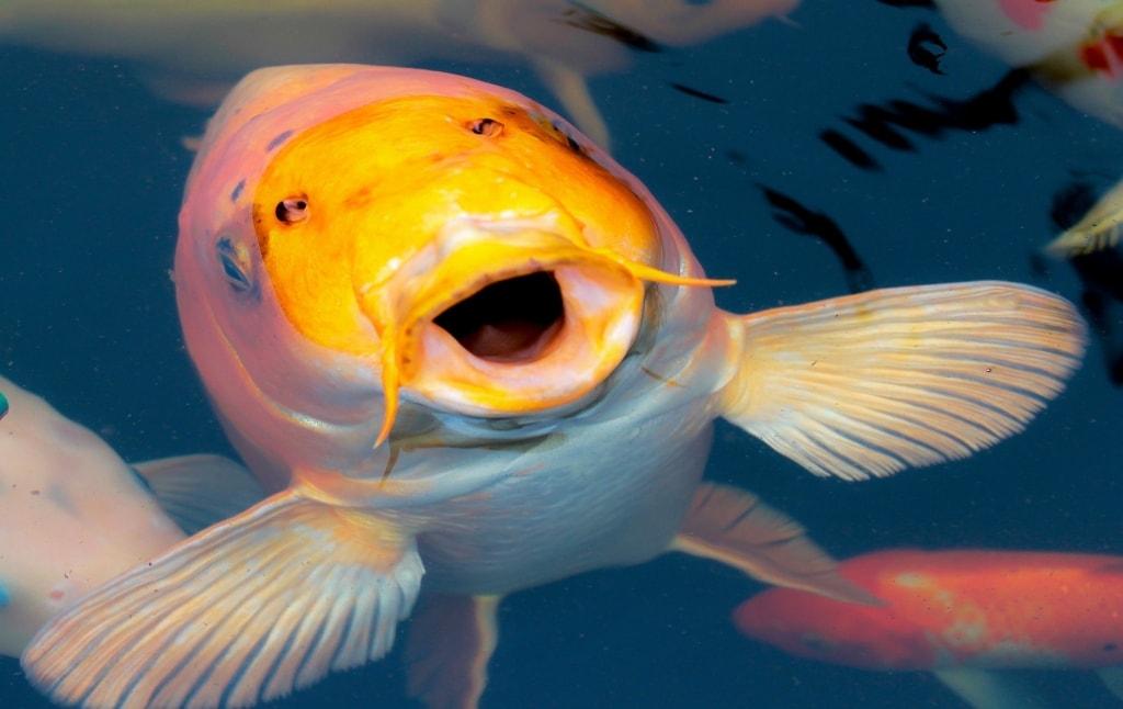 Ảnh con cá Koi Nhật Bản