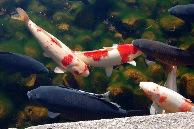 Cá Koi Nhật Bản đẹp nhất