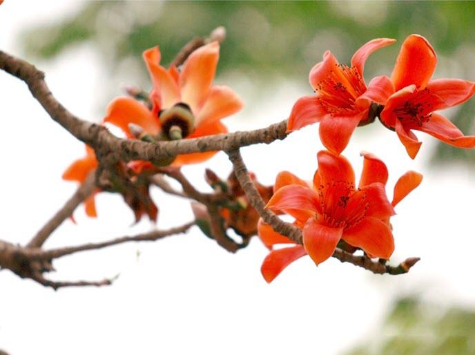 Cây hoa gạo đỏ đẹp