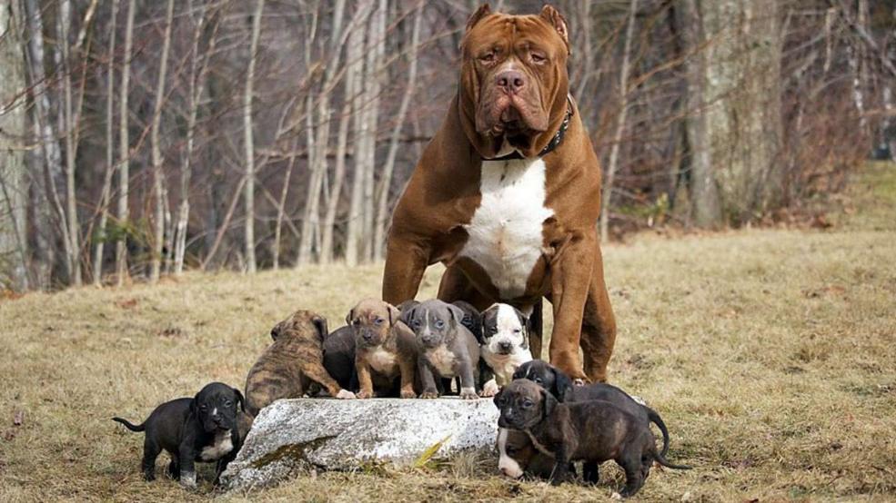 Chó Pitbull con