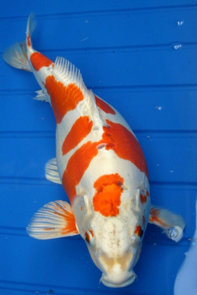 Chú cá Koi đẹp