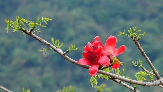 Hình ảnh bông hoa Gạo đẹp nhất