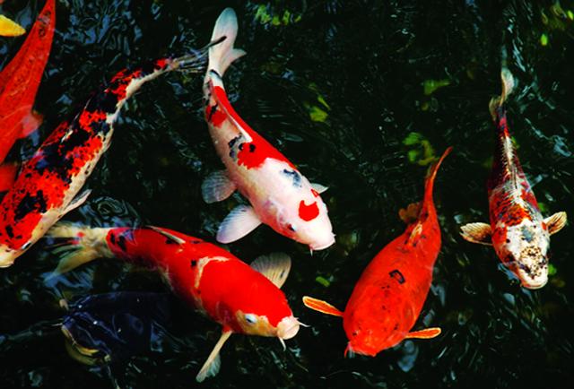 Hình ảnh cá chép Koi cực đẹp