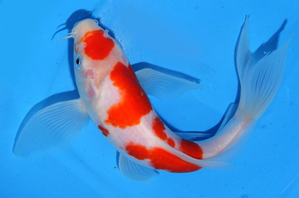 Hình ảnh cá chép Koi Nhật Bản cực đẹp