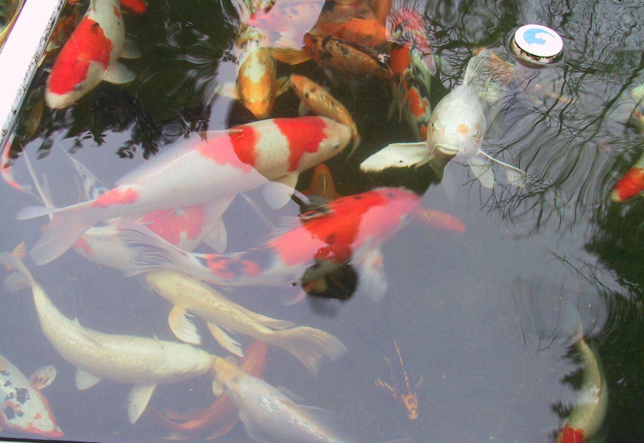 Hình ảnh cá chép Koi Nhật Bản đẹp