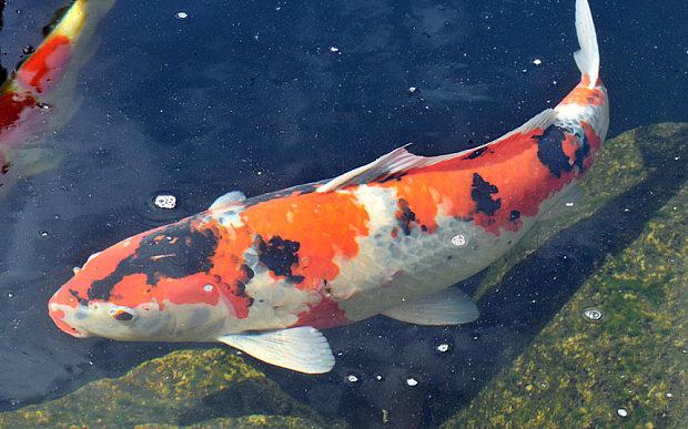 Hình ảnh cá chép Koi Nhật Bản