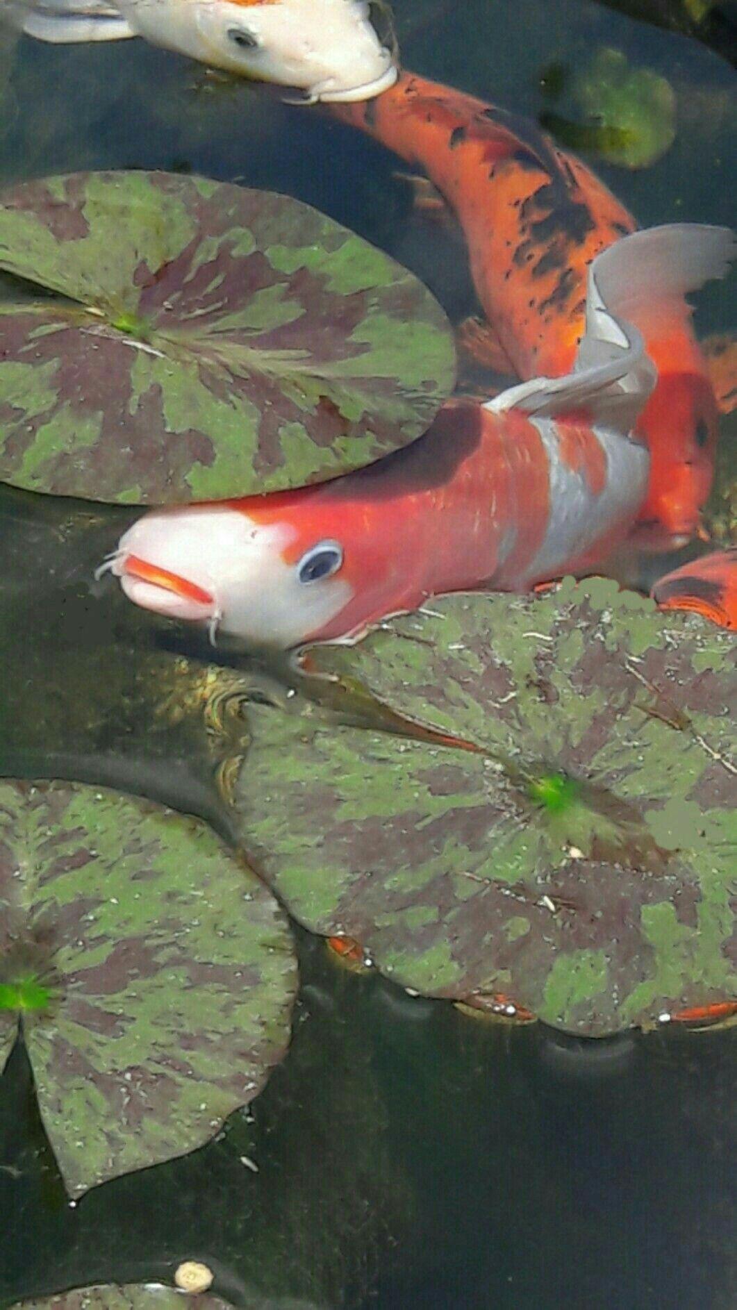 Hình ảnh cá chép Koi trong hồ đẹp