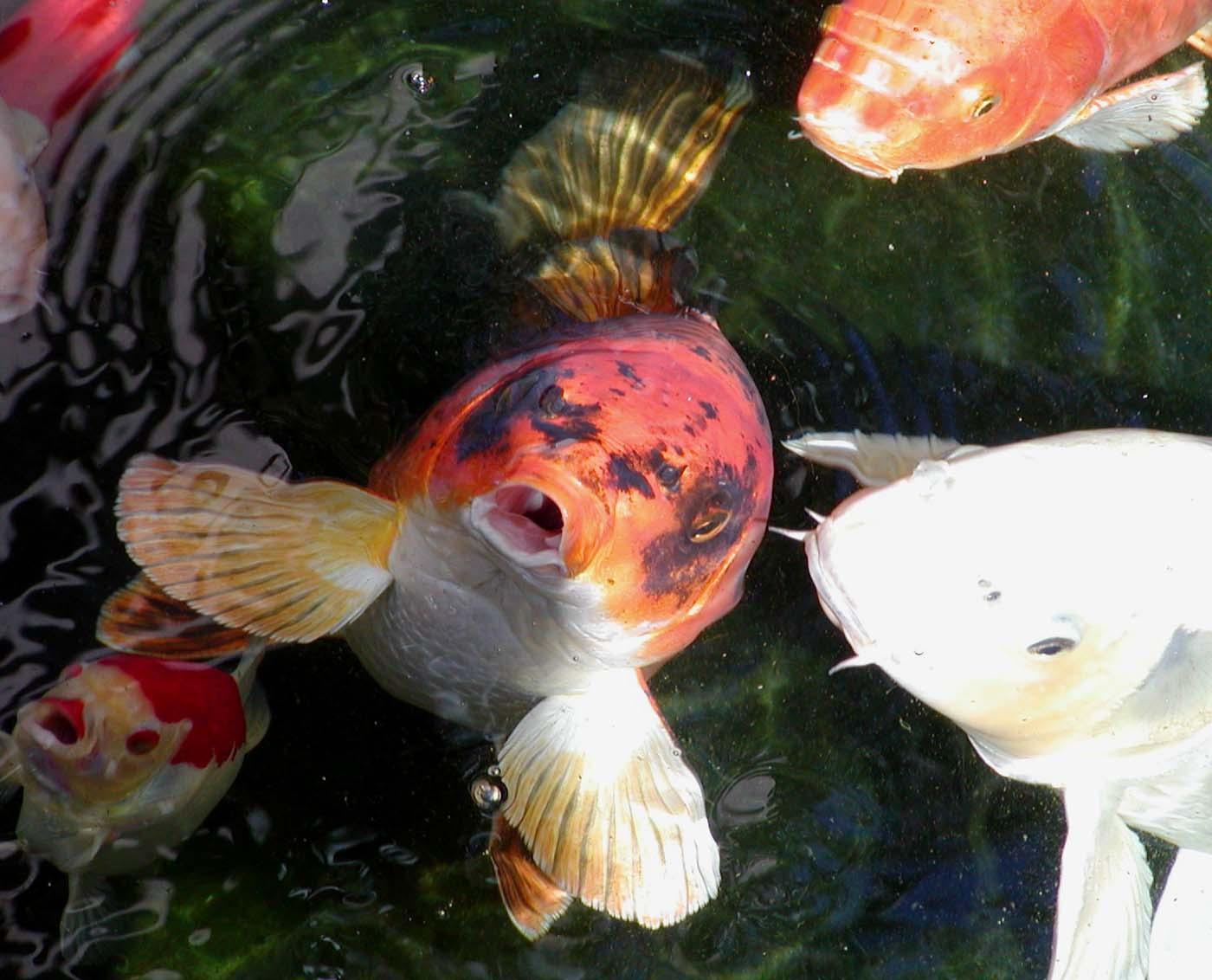 Hình ảnh cá Koi đang ăn đẹp