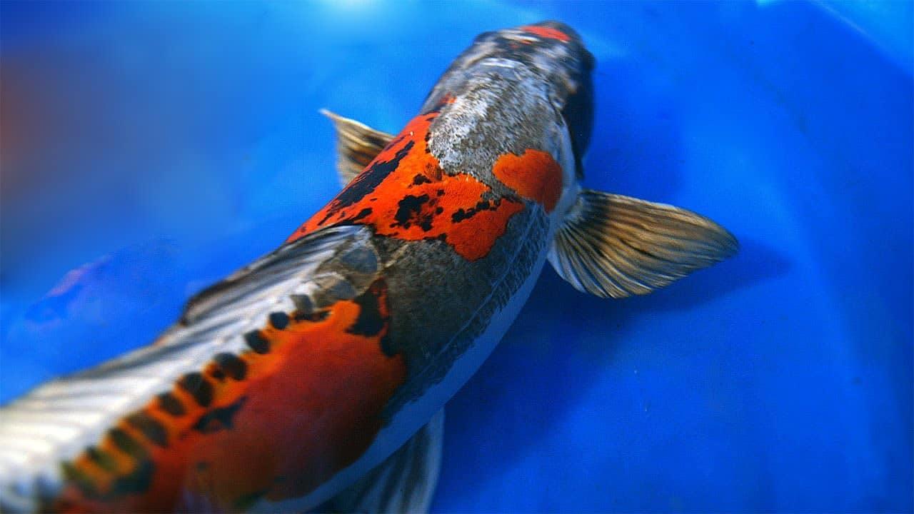 Hình ảnh cá Koi đẹp