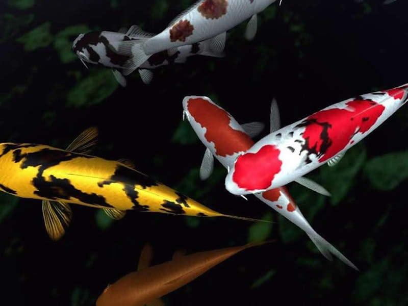 Hình ảnh cá Koi Japan