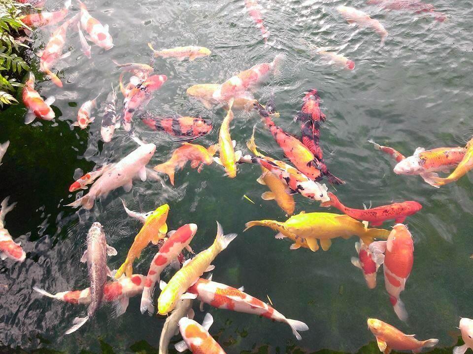 Hình ảnh cá Koi Nhật Bản