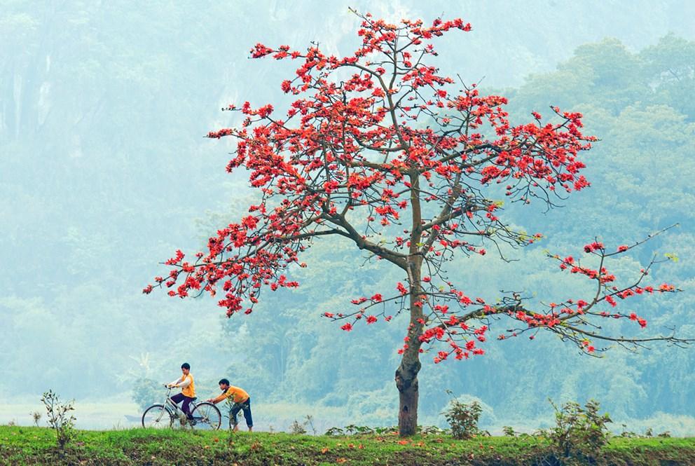 Hình ảnh cây Gạo đỏ rực hoa