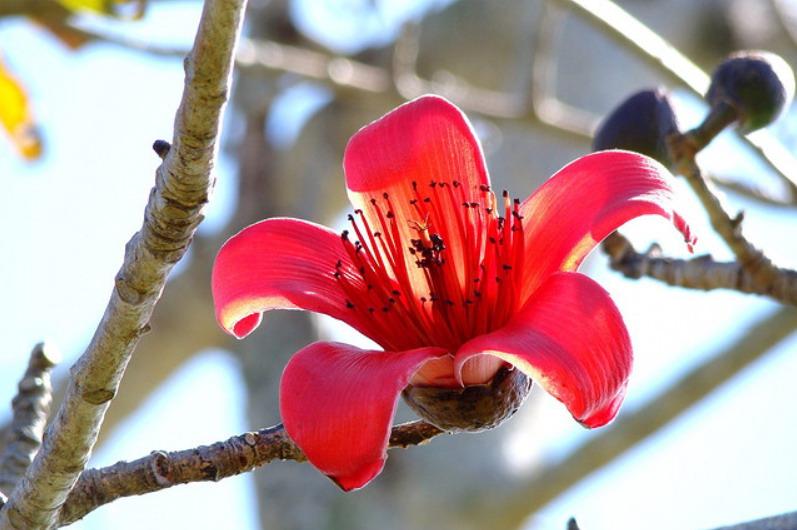 Hình ảnh cây hoa Gạo cực đẹp