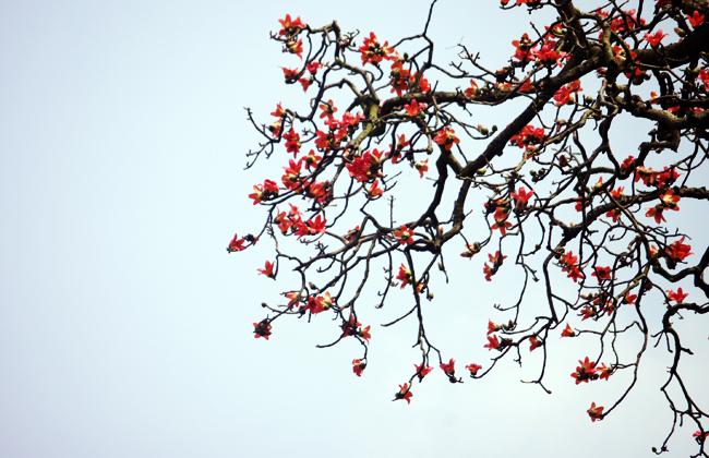 Hình ảnh cây hoa Gạo đẹp
