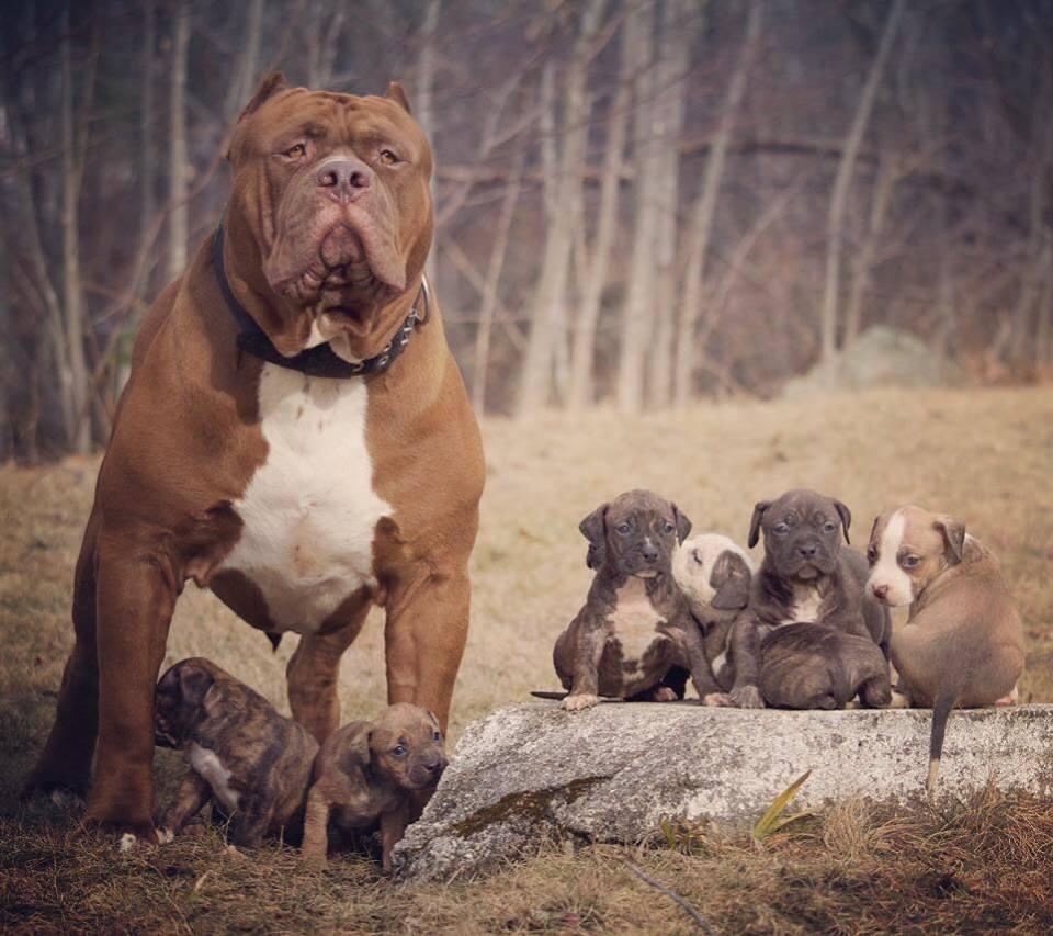 Hình ảnh chó Pitbull cơ bắp