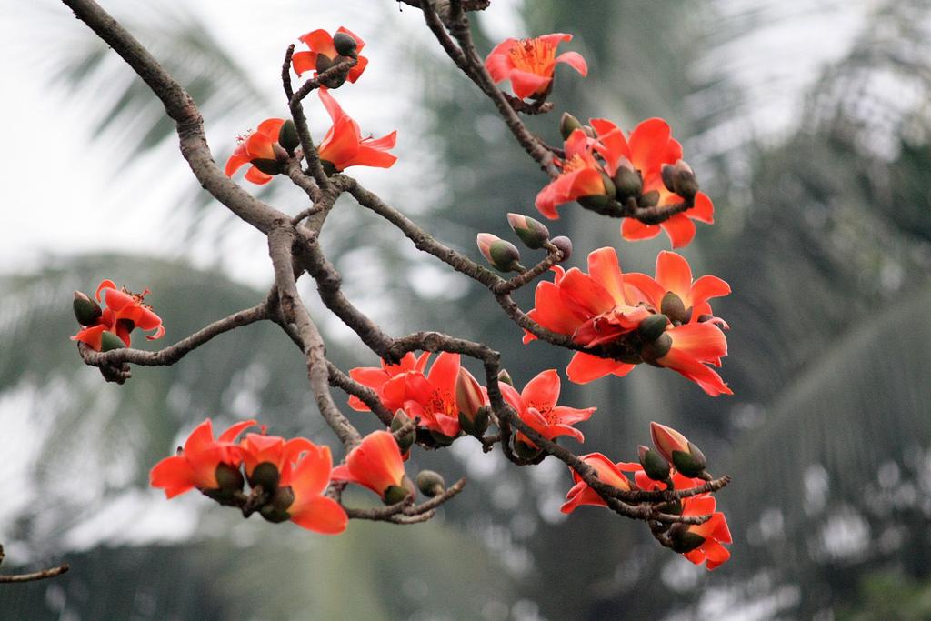 Hình ảnh chùm hoa Gạo đẹp