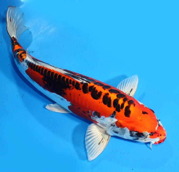 Hình ảnh con cá Koi Nhật đẹp