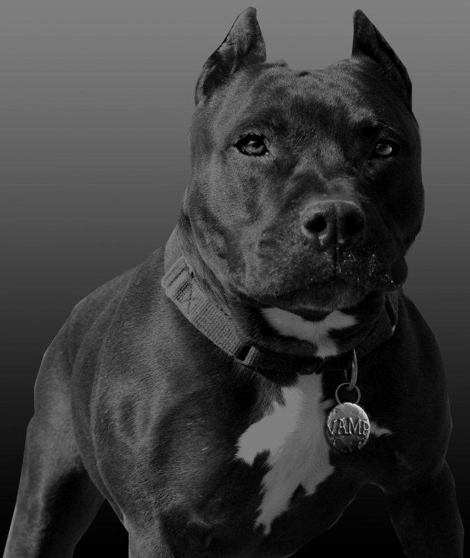 Hình ảnh con chó Pitbull đẹp nhất