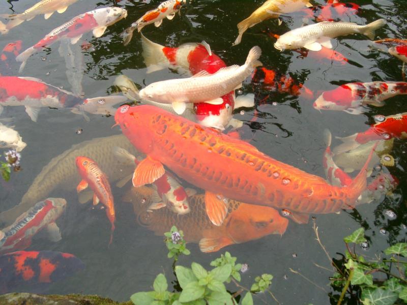 Hình ảnh đàn cá Koi trong hồ đẹp