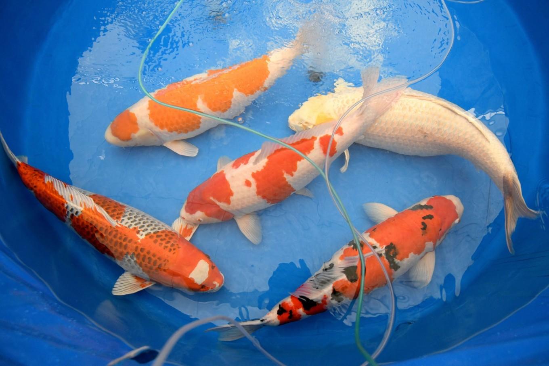 Hình ảnh đẹp của cá Koi