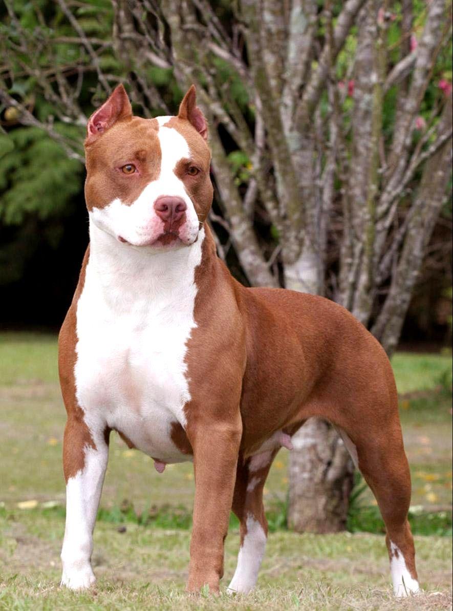 Hình ảnh đẹp nhất của chó Pitbull
