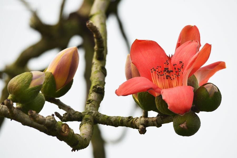 Hình ảnh hoa Gạo tháng 3