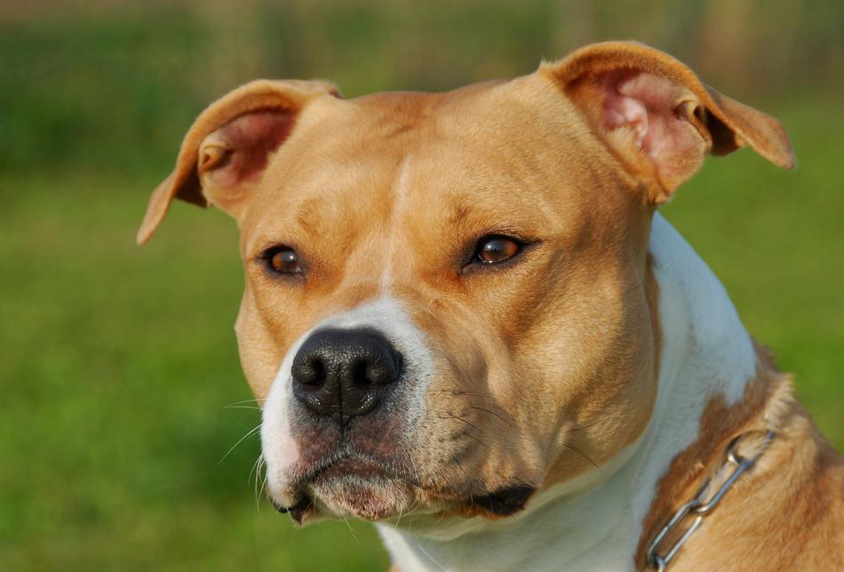 Hình ảnh mặt chú chó Pitbull