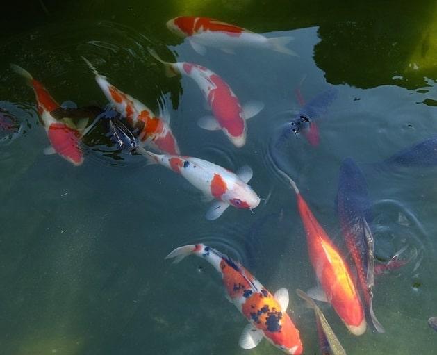 Hình ảnh những chú cá Koi đẹp