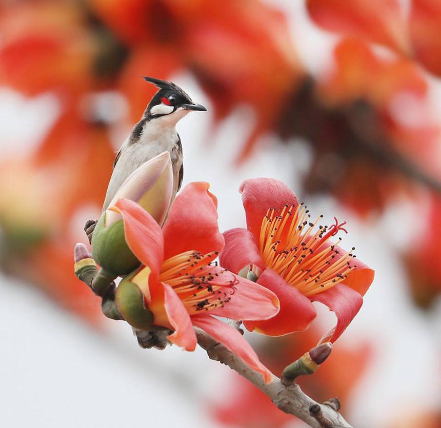 Hình ảnh tháng 3 hoa gạo nở đẹp