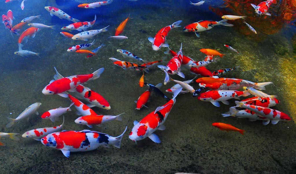 Hình cá chép Koi Nhật Bản