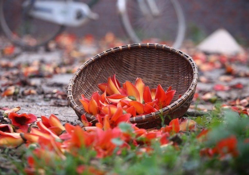 Hình cây hoa Gạo đỏ đẹp