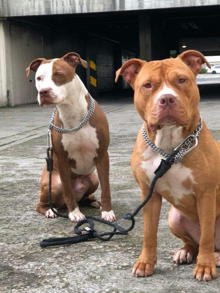 Hình con chó Pitbull đẹp nhất