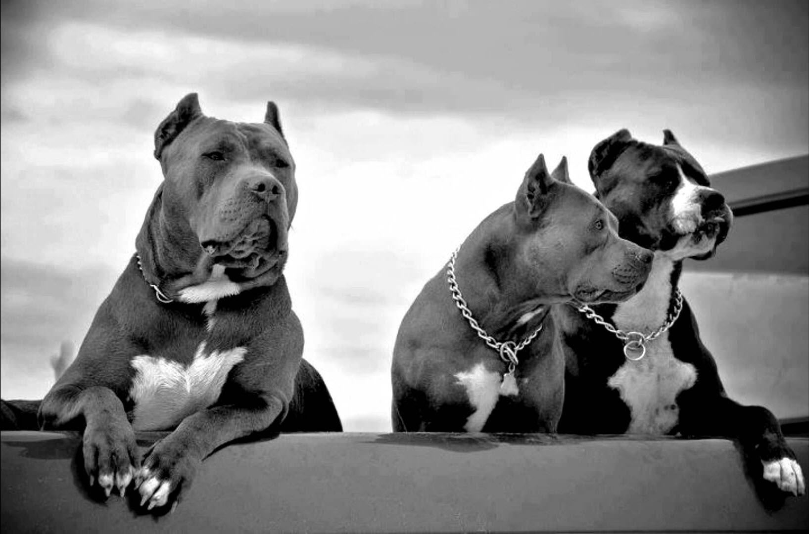 Hình con chó Pitbull