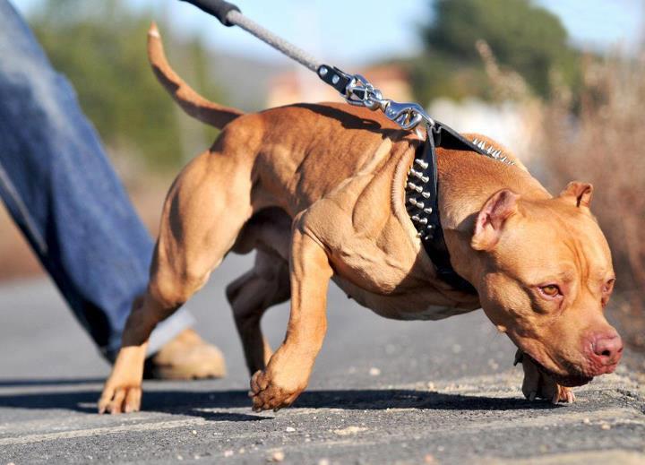 Hình đẹp chó Pitbull