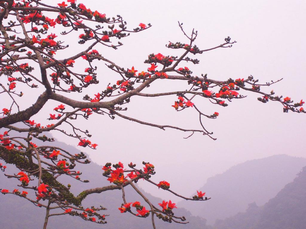 Hình hoa Gạo đỏ nở rộ tháng 3