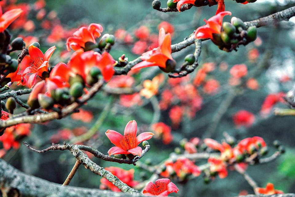Hình hoa Gạo tháng 3