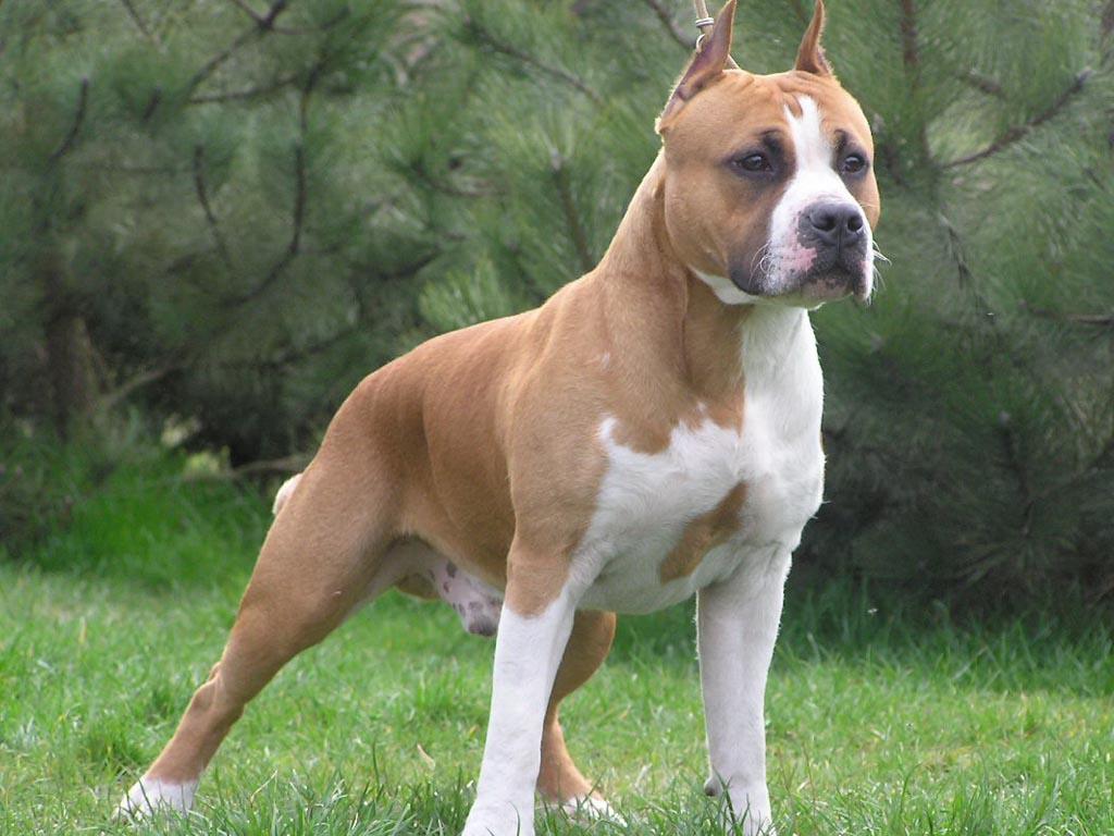 Hình nền chó Pitbull đẹp