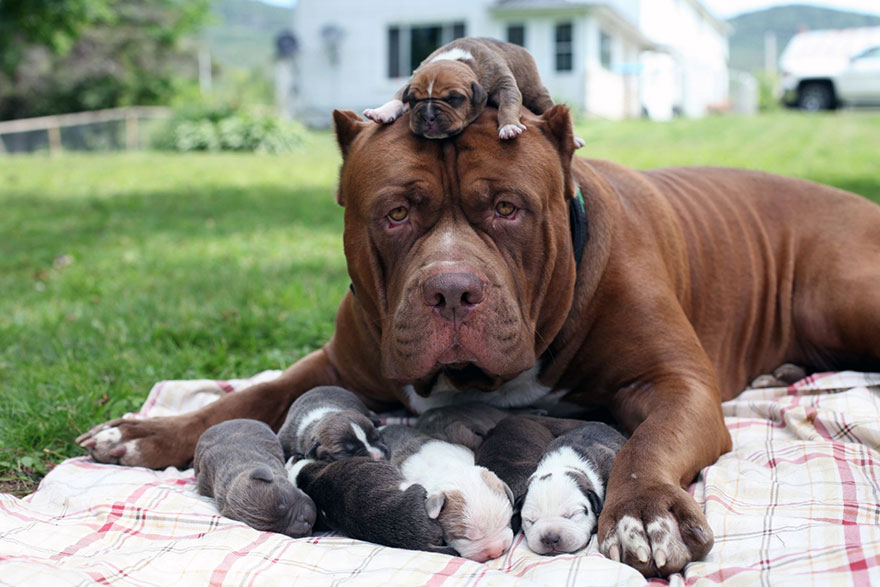 Hình Pitbull dog